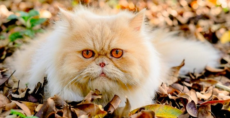 encontro, gatos, gateiros, florianopolis, sc, santa catarina, marco, mercure, hotel, itacorubi, pet, felinos,