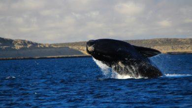 Enfim, as gigantes do mar chegaram a Santa Catarina para mais uma temporada