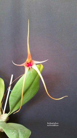 Orquídea bonita e saudável - Bulb echinolabium