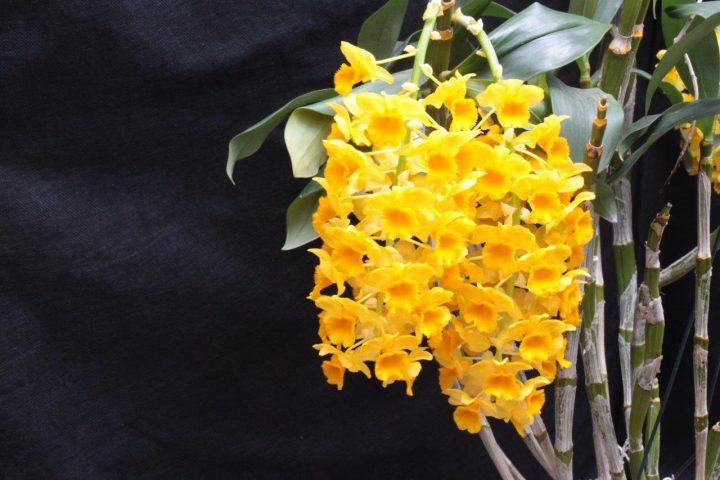 Orquídea-bonita-e-saudável-Dendrobium-densiflorum