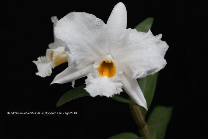 Orquídea bonita e saudável - Dendrobium infundibulum