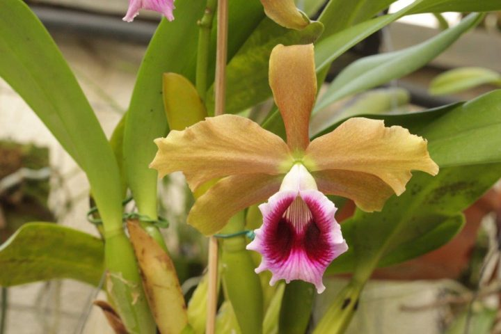 Orquídea bonita e saudável Laelia tenebrosa