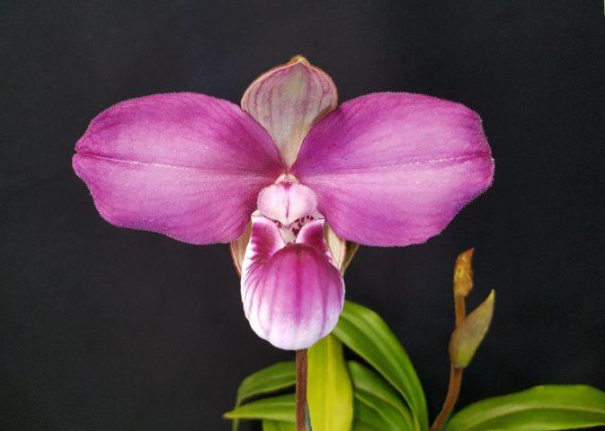 Orquídea-bonita-e-saudável-Phragmipedium-kovachii