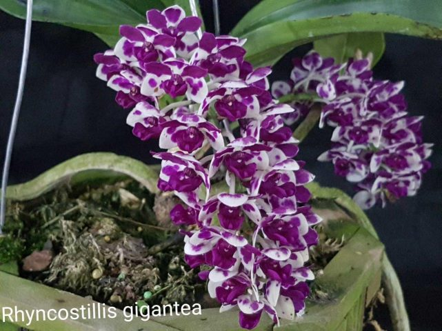 Orquídea bonita e saudável - Rynchostillis gigantea